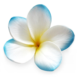 Sky Blue Real Touch Frangipani Flower Head