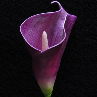 12pk Purple Real Touch Bouquet Calla Lilies